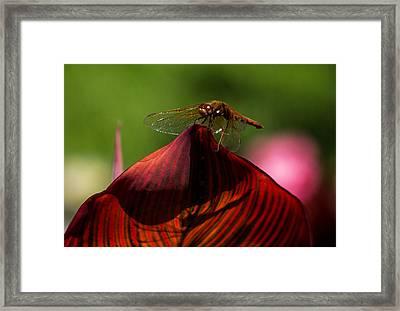 Sunbathing Dragonfly Framed Print by Jordan Blackstone