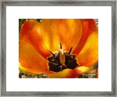 Sunburst Orange  Peach Blossom Framed Print by Lingfai Leung