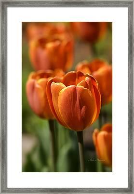 Sunburst Tulips Framed Print by Julie Palencia