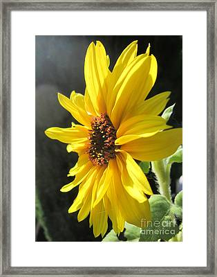 Sunflower 1 Framed Print by John Clark