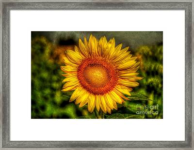 Sunflower Framed Print by Adrian Evans