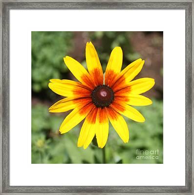 Sunflower At Full Bloom  Framed Print by John Telfer