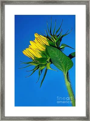 Sunflower Awakening Framed Print by Kaye Menner
