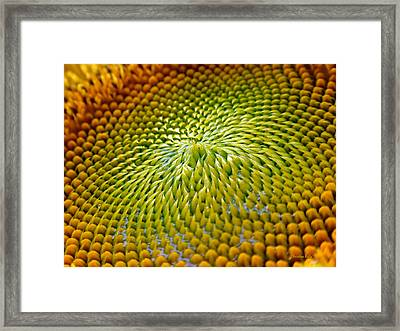 Sunflower  Framed Print by Christina Rollo
