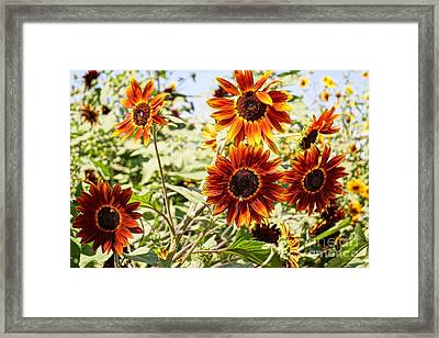 Sunflower Cluster Framed Print by Kerri Mortenson