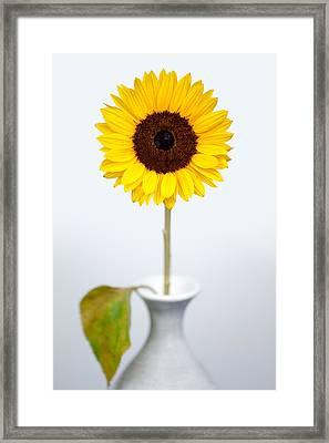 Sunflower Framed Print by Dave Bowman