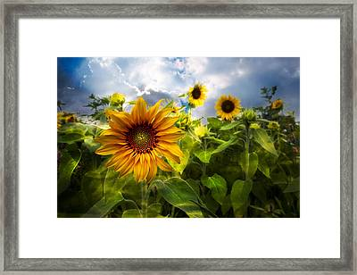 Sunflower Dream Framed Print by Debra and Dave Vanderlaan