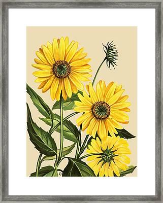 Sunflower Framed Print by English School