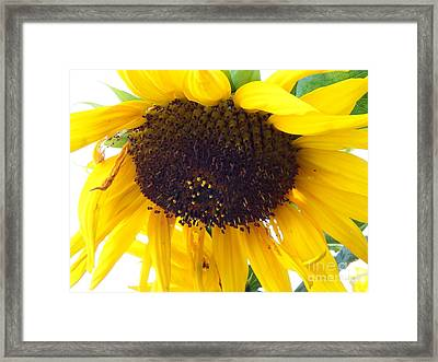 Sunflower - Falling For You Framed Print by Janine Riley