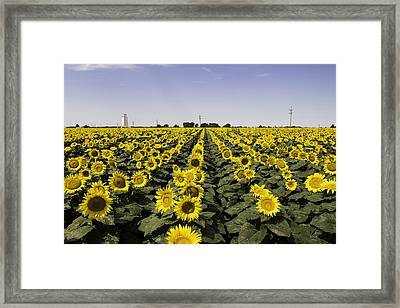 Sunflower Field 4 Framed Print by Chris Harris