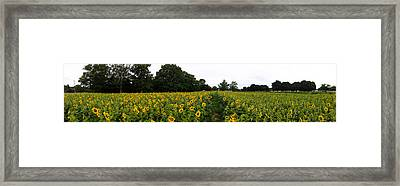 Sunflower Field Framed Print by Bill Cannon