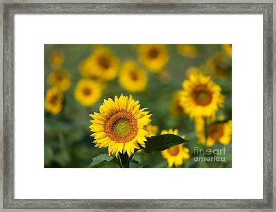 Sunflower Field In Bloom I Framed Print by Clarence Holmes