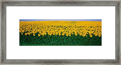 Sunflower Field, Maryland, Usa Framed Print by Panoramic Images