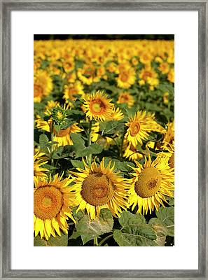 Sunflower Field Near Saint Remy Framed Print by Brian Jannsen