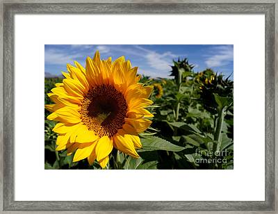 Sunflower Glow Framed Print by Kerri Mortenson