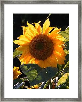 Sunflower - Golden Glory Framed Print by Janine Riley