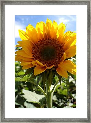 Sunflower Highlight Framed Print by Kerri Mortenson