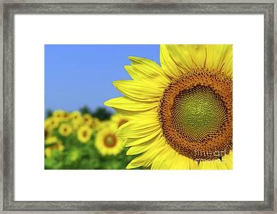 Sunflower In Sunflower Field Framed Print by Elena Elisseeva