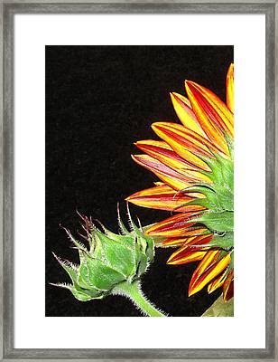 Sunflower In The Making Framed Print by Joyce Dickens