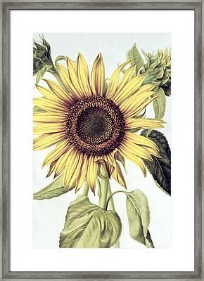 Sunflower Framed Print by Nicolas Robert