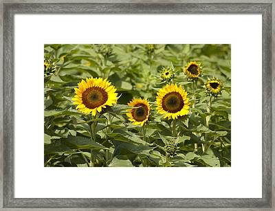 Sunflower Patch Framed Print by Bill Cannon