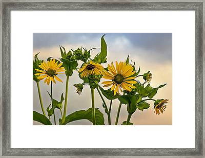 Sunflowers Framed Print by Barbara Smith