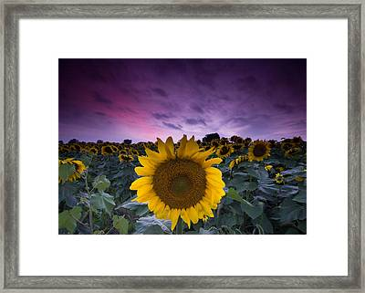 Sunflowers Framed Print by Cale Best