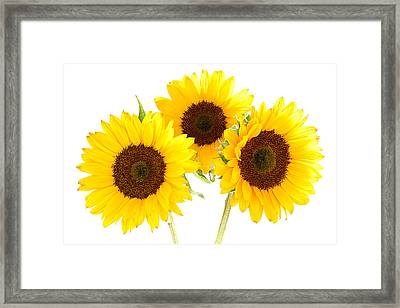 Sunflowers Framed Print by Claudio Bacinello