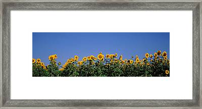 Sunflowers In A Field, Marion County Framed Print by Panoramic Images