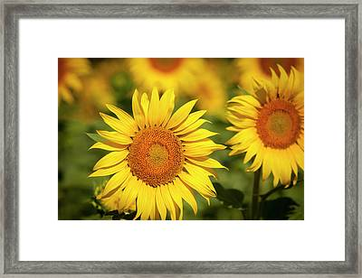 Sunflowers In A Field Near Saint Remy Framed Print by Brian Jannsen