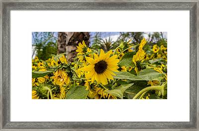 Sunflowers In Bloom Framed Print by Martin Newman