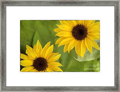 Sunflowers Framed Print by Natalie Kinnear