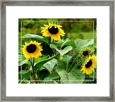 Sunflowers Framed Print by Rose Santuci-Sofranko