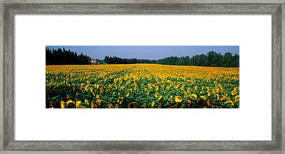 Sunflowers St Remy De Provence Provence Framed Print by Panoramic Images