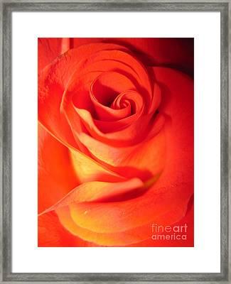 Sunkissed Orange Rose 10 Framed Print by Tara  Shalton