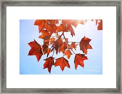 Sunlight On Red Leaves Framed Print by Natalie Kinnear