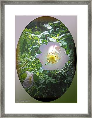 Sunlight On The Wild Pink Rose Framed Print by Patricia Keller