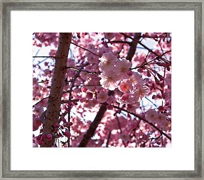 Sunlit Cherry Blossoms Framed Print by Rona Black