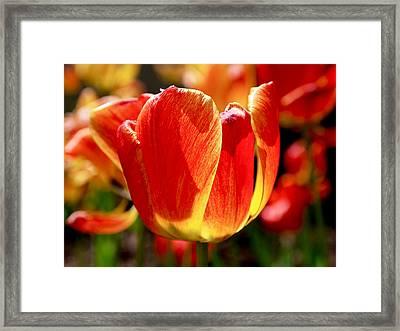 Sunlit Tulips Framed Print by Rona Black