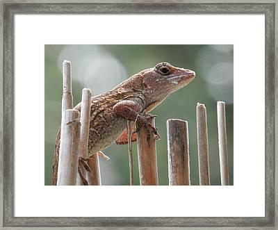 Sunning Lizard Framed Print by Belinda Lee