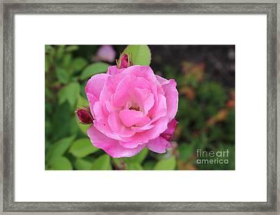 Sunny Buds Framed Print by Linda Meyer