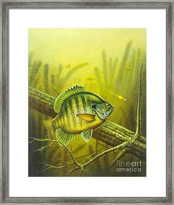 Sunny Day Panfish Framed Print by Jon Q Wright