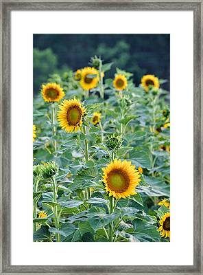 Sunny Faces Framed Print by Jan Amiss Photography