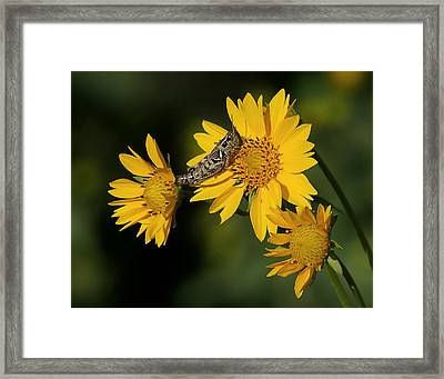 Sunny Hopper Framed Print by Ernie Echols