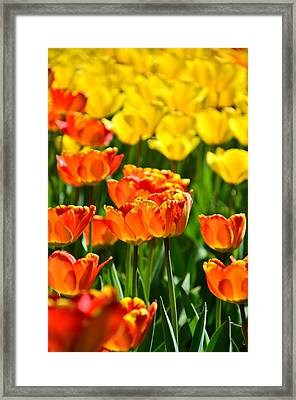 Sunny Tulips Framed Print by Gynt