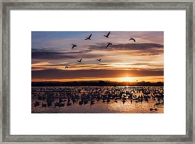 Sunrise - Snow Geese - Birds Framed Print by Shara Lee