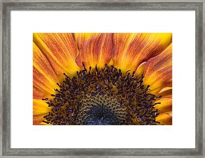 Sunrise Sunflower Framed Print by Scott Campbell