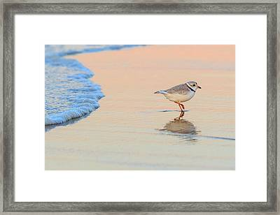 Sunset Piping Plover Framed Print by Bill Wakeley