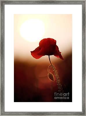 Sunset Poppy Framed Print by Tim Gainey