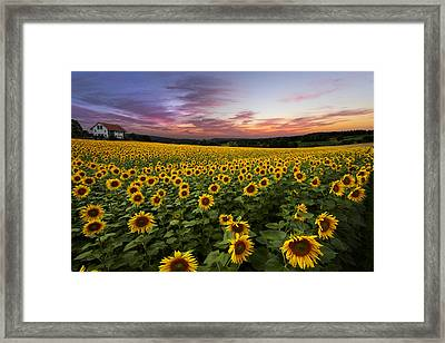 Sunset Sunflowers Framed Print by Debra and Dave Vanderlaan